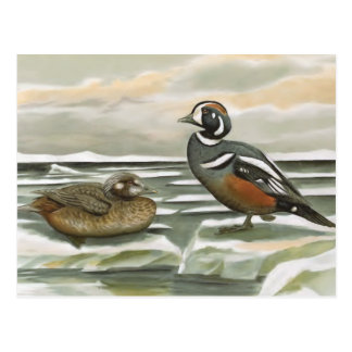 Harlequin Duck Postcard