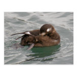 Harlequin Female Duck Preening on the Water Post Card