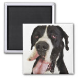 Harlequin Great Dane, close-up on white 2 Inch Square Magnet