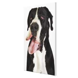Harlequin Great Dane, close-up on white Canvas Print