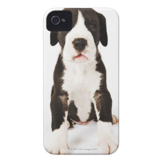 Harlequin Great Dane puppy on white background iPhone 4 Cover