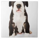 Harlequin Great Dane puppy on white background Large Square Tile