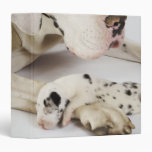 Harlequin Great Dane puppy sleeping on mother 3 Ring Binders