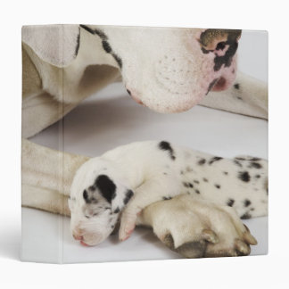 Harlequin Great Dane puppy sleeping on mother Binder