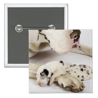 Harlequin Great Dane puppy sleeping on mother Pinback Button