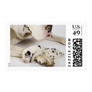 Harlequin Great Dane puppy sleeping on mother Stamp