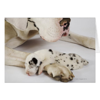 Harlequin Great Dane puppy sleeping on mother's Card