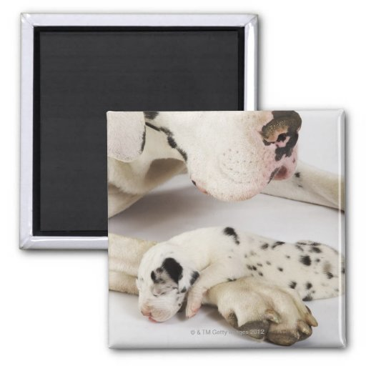 Harlequin Great Dane puppy sleeping on mother's Magnets