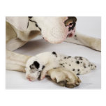 Harlequin Great Dane puppy sleeping on mother's Postcard
