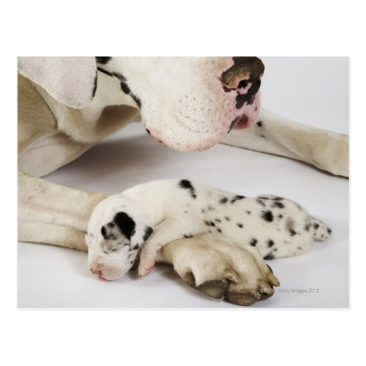 Harlequin Great Dane puppy sleeping on mother's Post Card