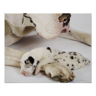 Harlequin Great Dane puppy sleeping on mother's Poster