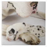 Harlequin Great Dane puppy sleeping on mother's Large Square Tile
