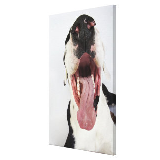Harlequin Great Dane with open mouth, close-up, Canvas Print