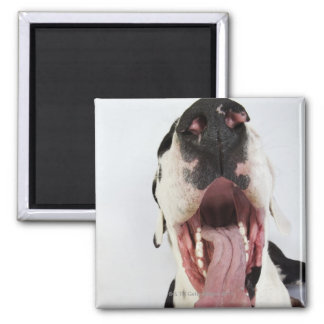 Harlequin Great Dane with open mouth, close-up, Fridge Magnet