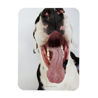 Harlequin Great Dane with open mouth, close-up, Magnet