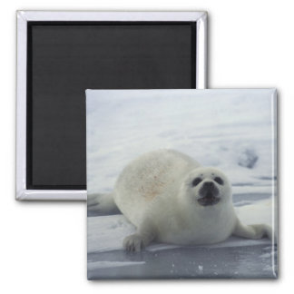 Harp Seal on Ice 2 Inch Square Magnet
