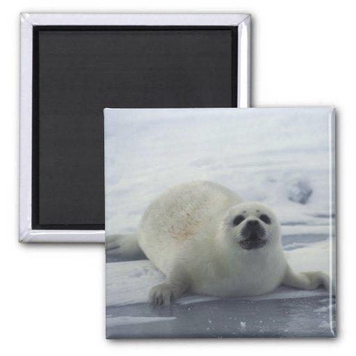 Harp Seal on Ice Refrigerator Magnets