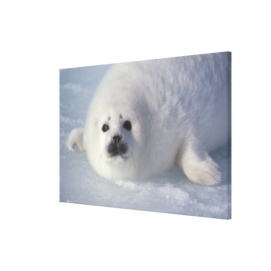 Harp seal Phoca groenlandica) A week-old harp Canvas Print