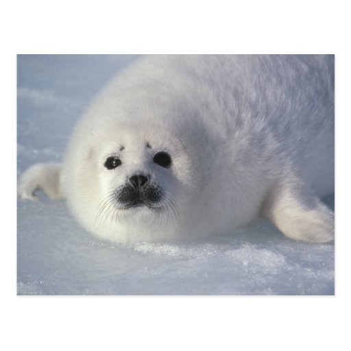 Harp seal Phoca groenlandica) A week-old harp Postcard