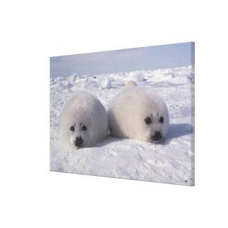 Harp seal (Phoca groenlandica) Harp seal pups Canvas Print