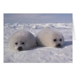 Harp seal (Phoca groenlandica) Harp seal pups Greeting Cards