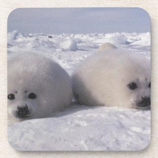 Harp seal (Phoca groenlandica) Harp seal pups Beverage Coasters