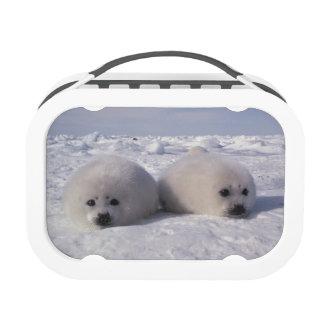 Harp seal (Phoca groenlandica) Harp seal pups Lunchbox