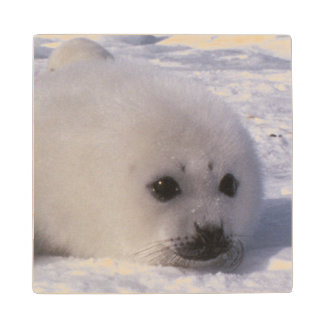 Harp seal (Phoca groenlandica) Harp seal pups Wood Coaster