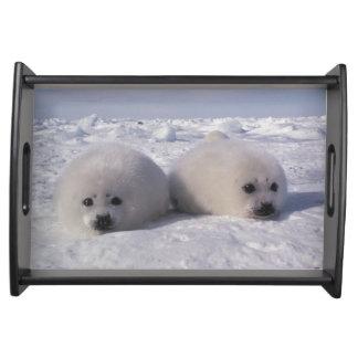 Harp seal (Phoca groenlandica) Harp seal pups Serving Platters