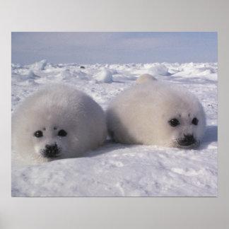 Harp seal (Phoca groenlandica) Harp seal pups Poster