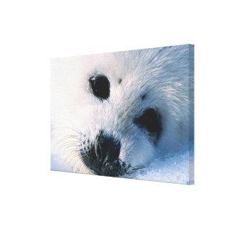 Harp seal pup 2 canvas print