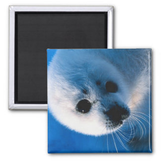 Harp Seal Pup Close-Up 2 Inch Square Magnet