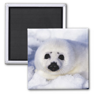 Harp seal pup ice Gulf of St. Lawrence, 2 Inch Square Magnet