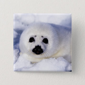 Harp seal pup ice Gulf of St. Lawrence, Button