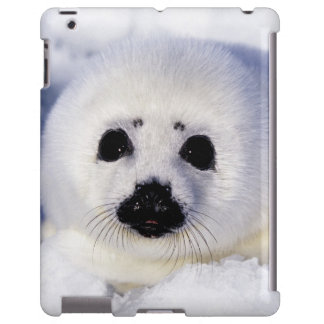 Harp seal pup ice Gulf of St. Lawrence,