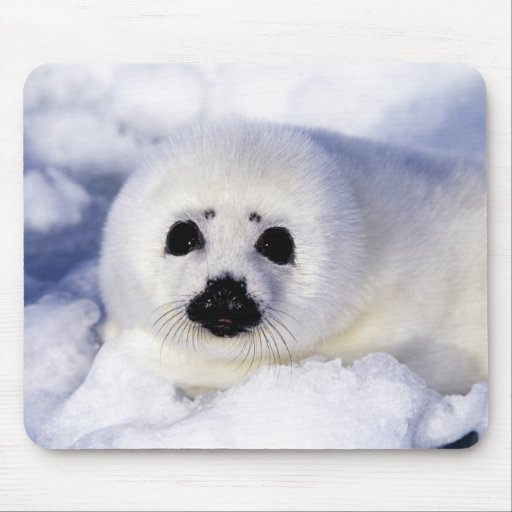Harp seal pup ice Gulf of St. Lawrence, Mousepad