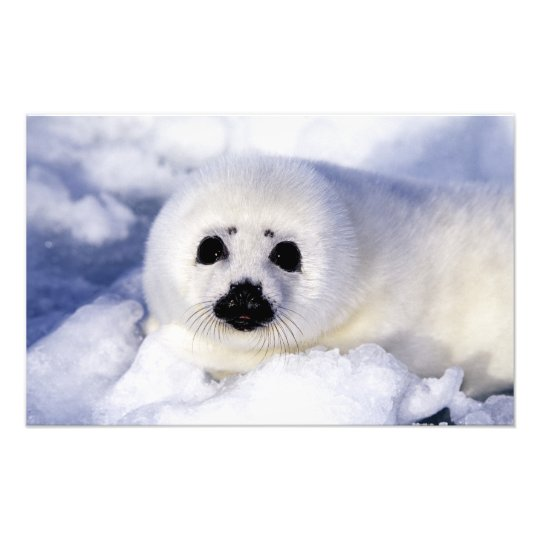 Harp seal pup ice Gulf of St. Lawrence, Photo Print