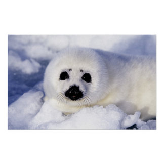 Harp seal pup ice Gulf of St. Lawrence, Poster