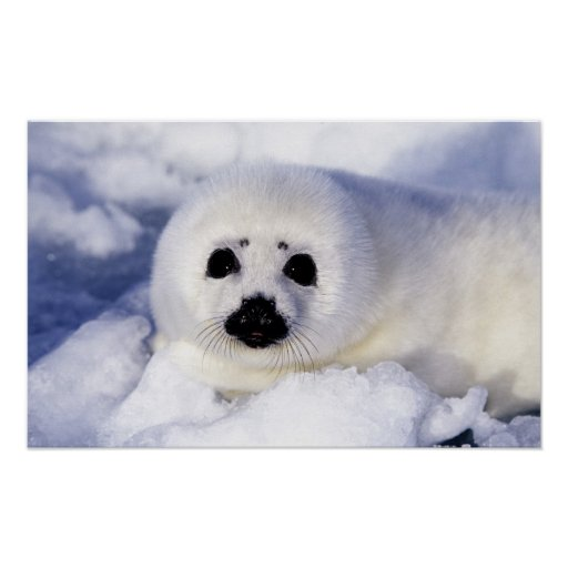 Harp seal pup ice Gulf of St. Lawrence, Posters