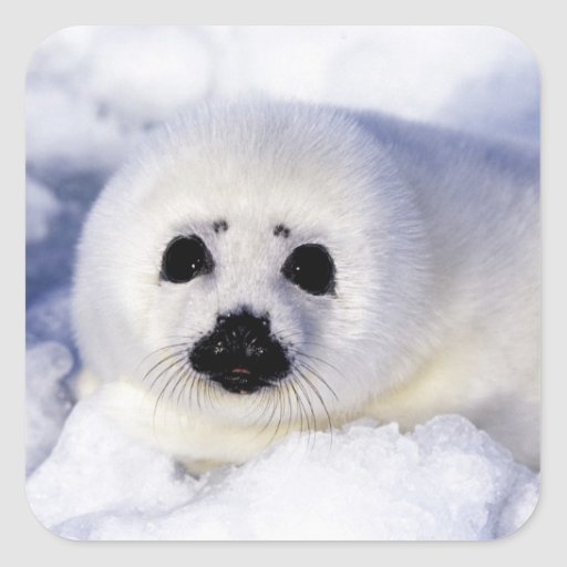 Harp seal pup ice Gulf of St. Lawrence, Square Stickers
