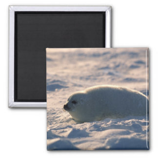 Harp Seal Pup in Snow 2 Inch Square Magnet