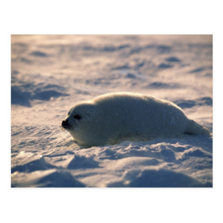 Harp Seal Pup in Snow Postcard