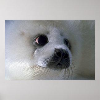 Harp seal pup poster