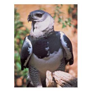 Harpey Eagle Postcard