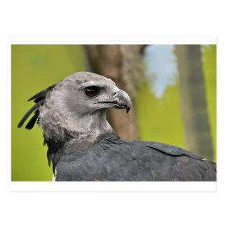 Harpy Eagle 1.JPG Postcard