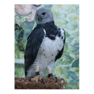 Harpy Eagle Postcard