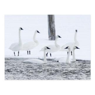 Harriman State Park, Idaho. USA. Trumpeter Swans Postcard