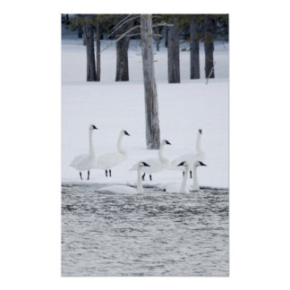 Harriman State Park, Idaho. USA. Trumpeter Swans Poster