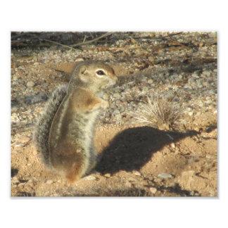 Harris Antelope Squirrel Photo Print