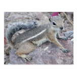 Harris Antelope Squirrel Post Cards